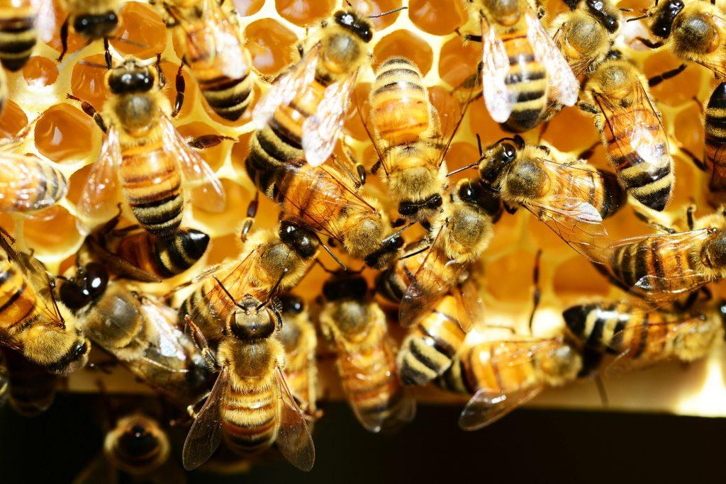 Le miel - abeilles